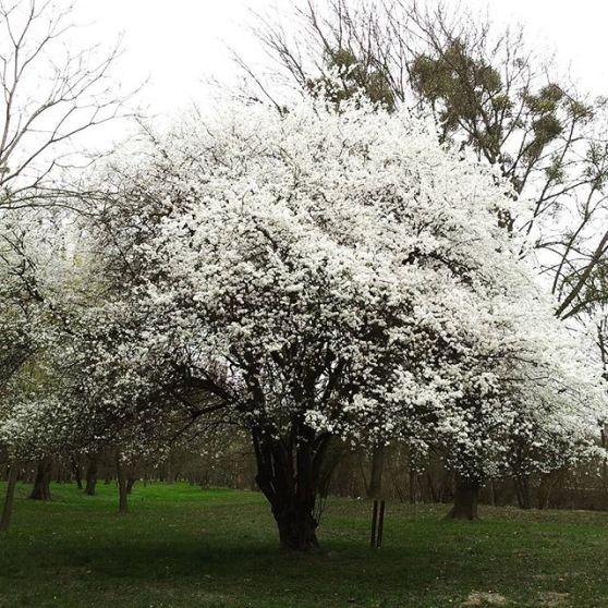 gamanacasa white tree