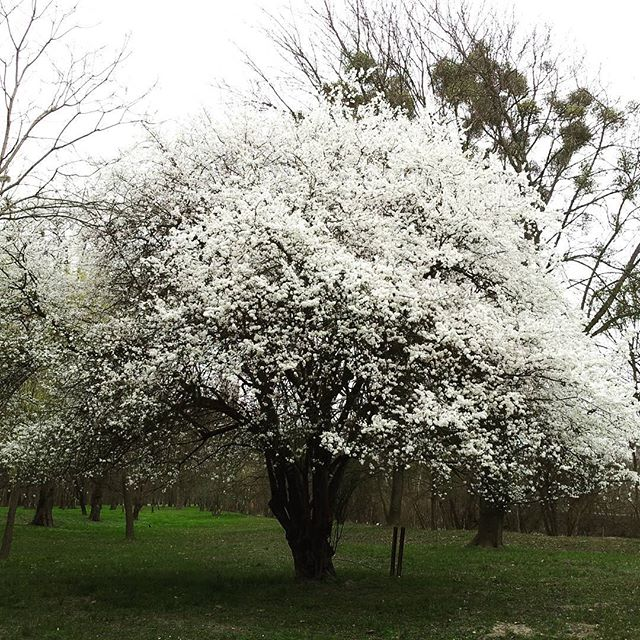 gamanacasa white tree