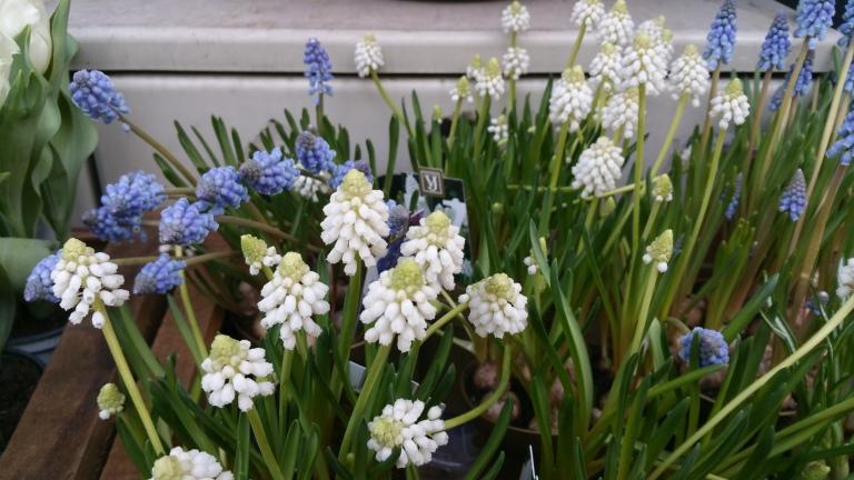 gamanacasa vienna spring flowers 5