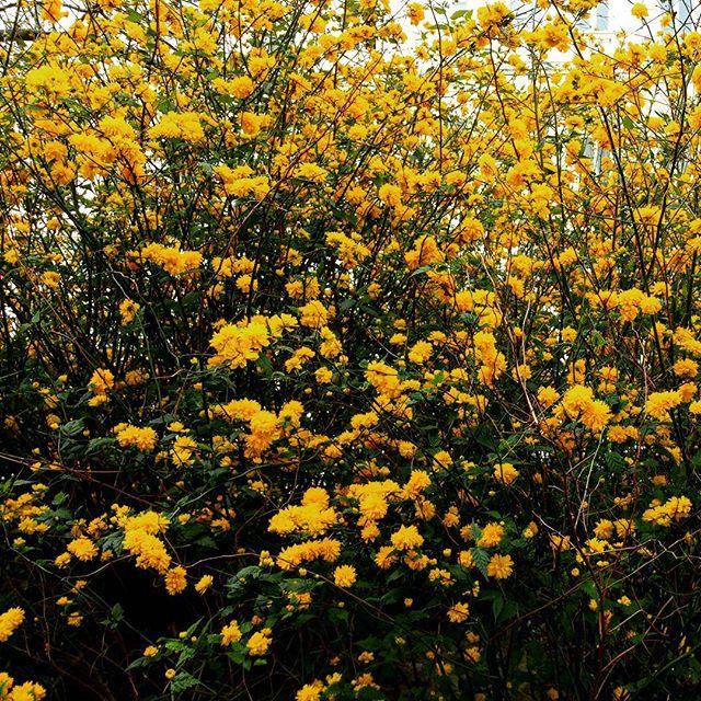 gamanacasa vienna yellow flowers spring 1