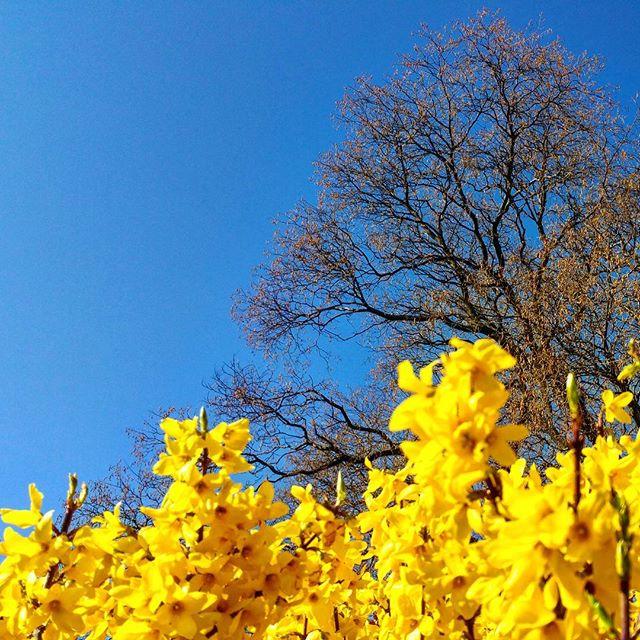 gamanacasa vienna yellow flowers spring 2